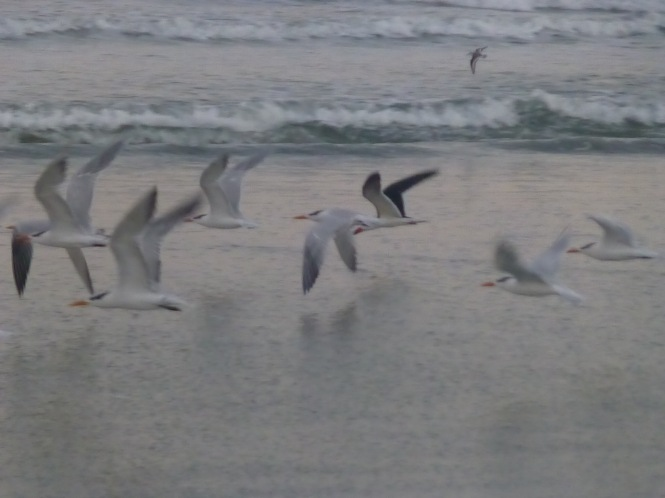 Pelicans and Sea Gulls in Flight
