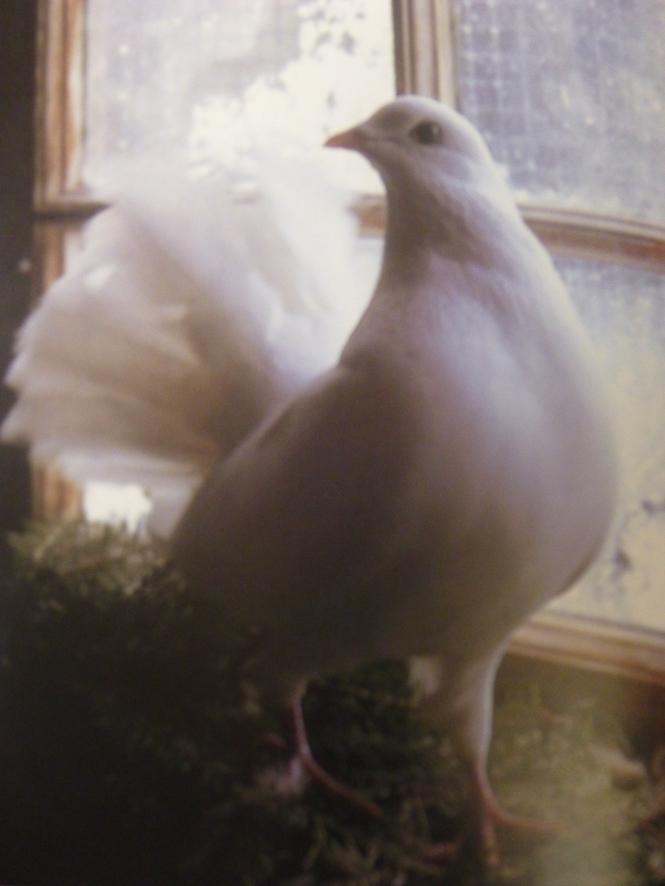 Tasha's Fantail Doves