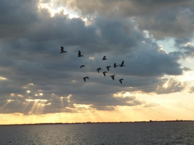 Birds soaring through the sky, above the Banana River!