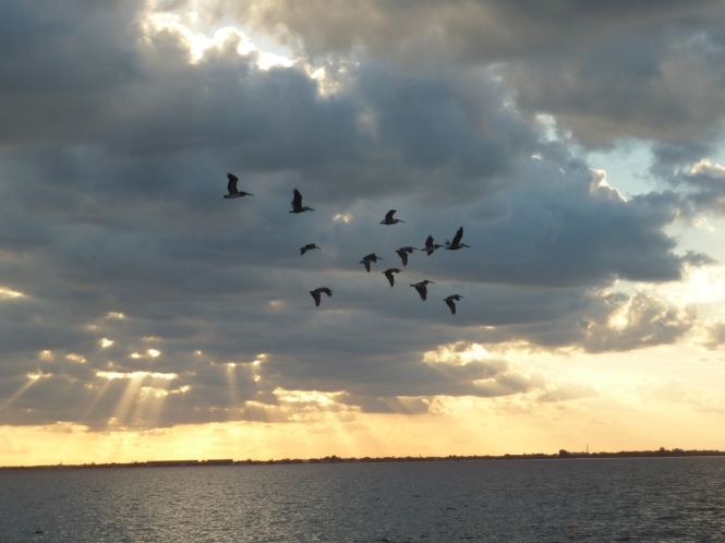 Birds soaring through the sky, above the Banana River!