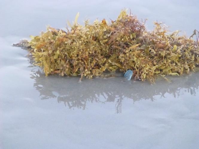 Jellyfish in seaweed