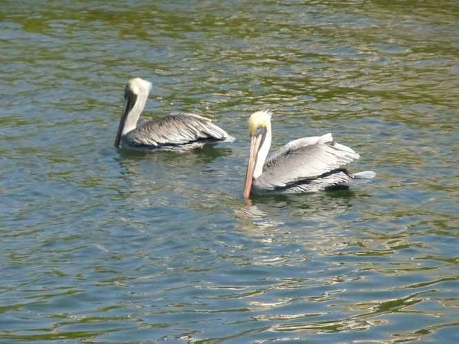 Pelican Feasting on in Florida fish on the banana River