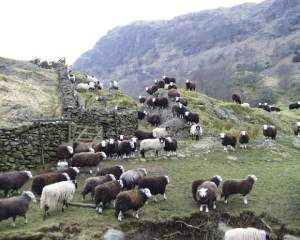 beatrix-potter-herdwick-sheep