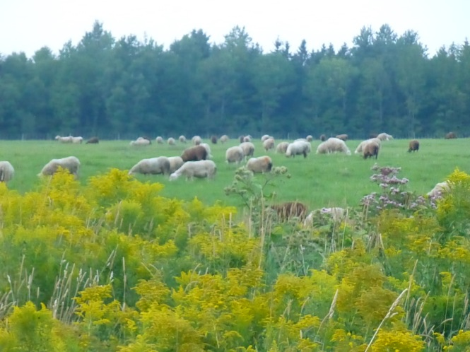 Sheep in field Vermont New England Travels North East Kingdom of Vermont Rugged sturdy functional fall autumnal knitting patterns USA handmade s=hand knit shawls