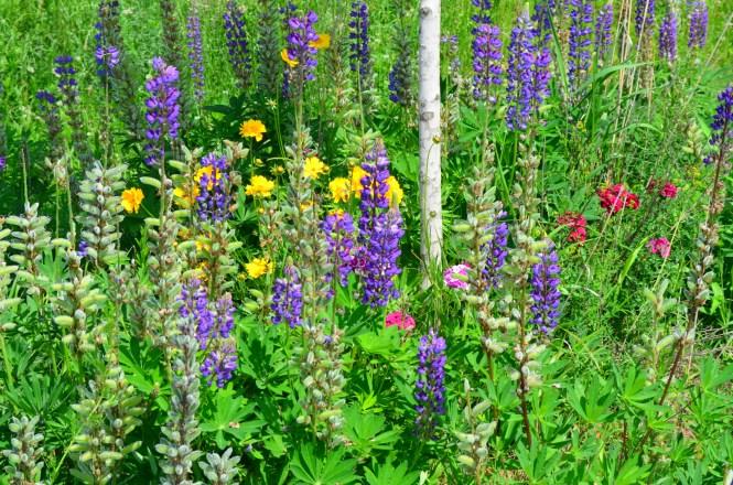 Wild flowers lupine daisy