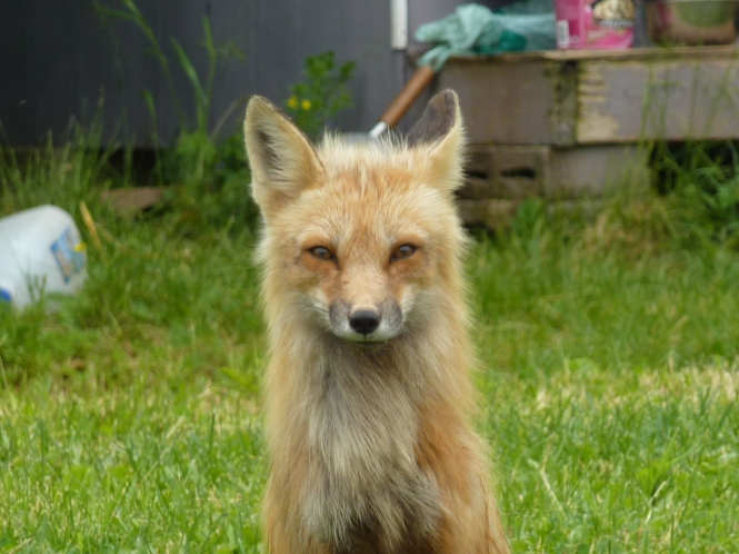 Red Foxes of PEI prince Edward Island 150 Celebration light Houses sea shore beaches Anne of Green Gables Lucy Maud Montgomery
