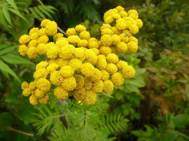 Tansy flower golden button herbal garden Gardening with Tasha Tudor