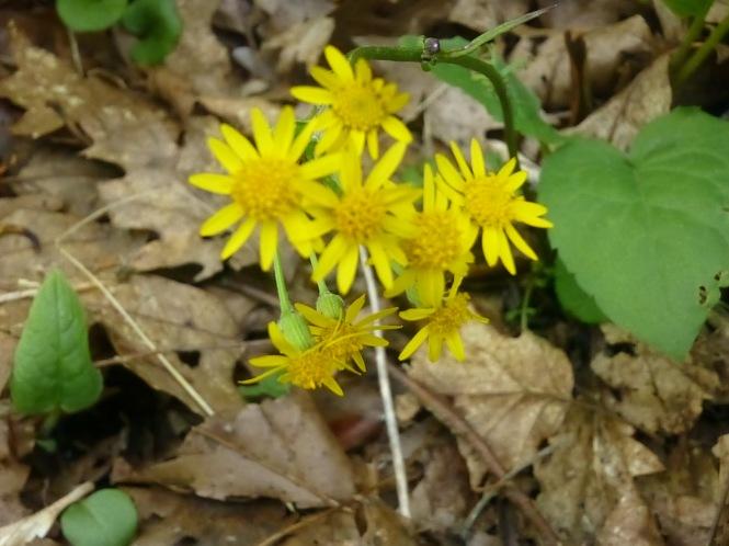 Spsring Wild Flowers Mt Pisgah Blue Ridge Parkway Toyota RV travels