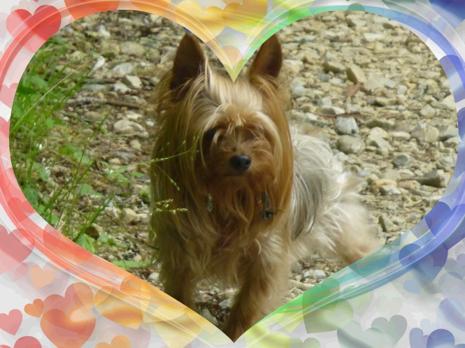 Misty Yorkshire Terrier June  RV Traveling Spring on the blue Ridge Parkway.