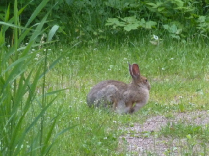 Wild life of Prince Edward Island 150 year celebration Jack Rabbit pf PEI