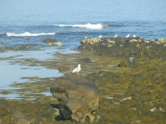 Vacationing by the seashore of Seawall  Maine seagulls video  Seaweed tides of east coast