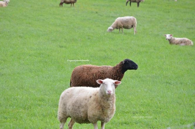 Sheep North East Kingdom Vermont New England States