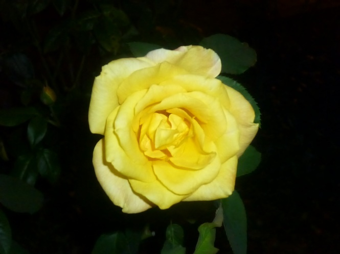 Happy Mothers day Yellow Rose