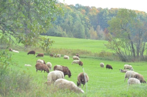 Tasha Tudor Birthday in Vermont sheep in the meadow