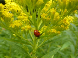 Goldenrod is one of the fairy magical flowers of autumn color and scenery
