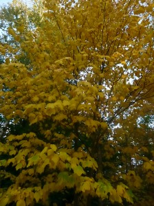 Brazen yellow leaves of September.